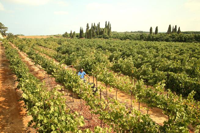 Margalit_Binyamina vineyard